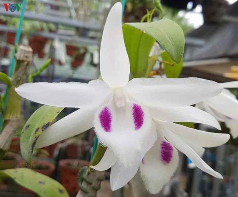 Cơn sốt lan đột biến tiền tỷ tràn về vựa hoa Đông La - Ảnh 2.