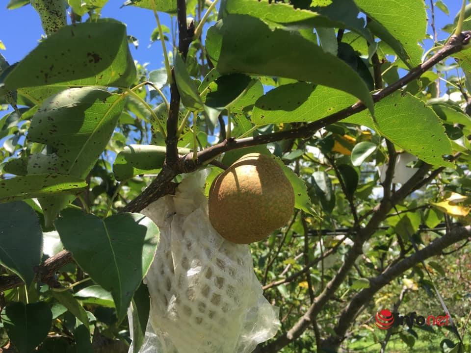 """Vì sao trái cây Sơn La đắt như tôm tươi, 5 năm không cần """"giải cứu""""? - Ảnh 1."""