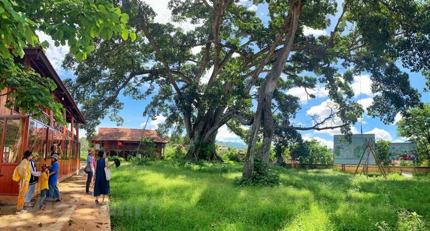 """Ở Sơn La có """"cụ"""" cây đa cổ thụ 500-600 tuổi khổng lồ có tới 2 thân kỳ lạ - Ảnh 1."""