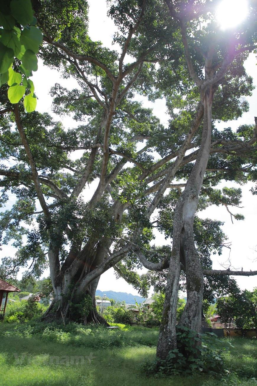"""Ở Sơn La có """"cụ"""" cây đa cổ thụ 500-600 tuổi khổng lồ có tới 2 thân kỳ lạ - Ảnh 2."""