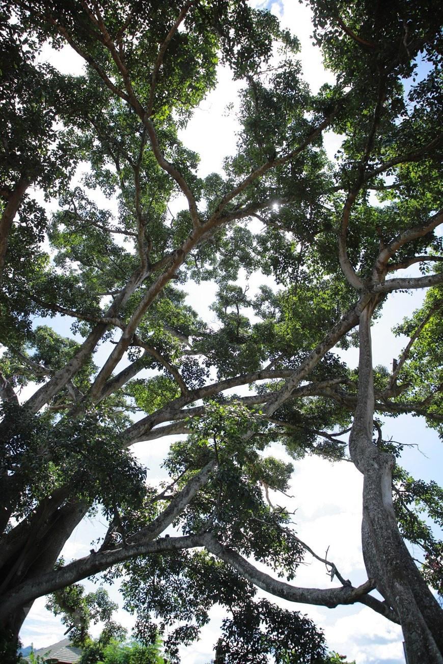 """Ở Sơn La có """"cụ"""" cây đa cổ thụ 500-600 tuổi khổng lồ có tới 2 thân kỳ lạ - Ảnh 3."""