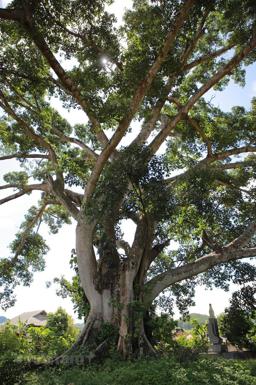 """Ở Sơn La có """"cụ"""" cây đa cổ thụ 500-600 tuổi khổng lồ có tới 2 thân kỳ lạ - Ảnh 7."""