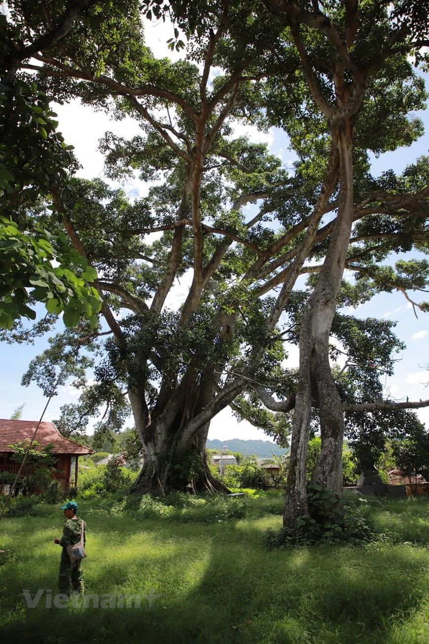 """Ở Sơn La có """"cụ"""" cây đa cổ thụ 500-600 tuổi khổng lồ có tới 2 thân kỳ lạ - Ảnh 6."""