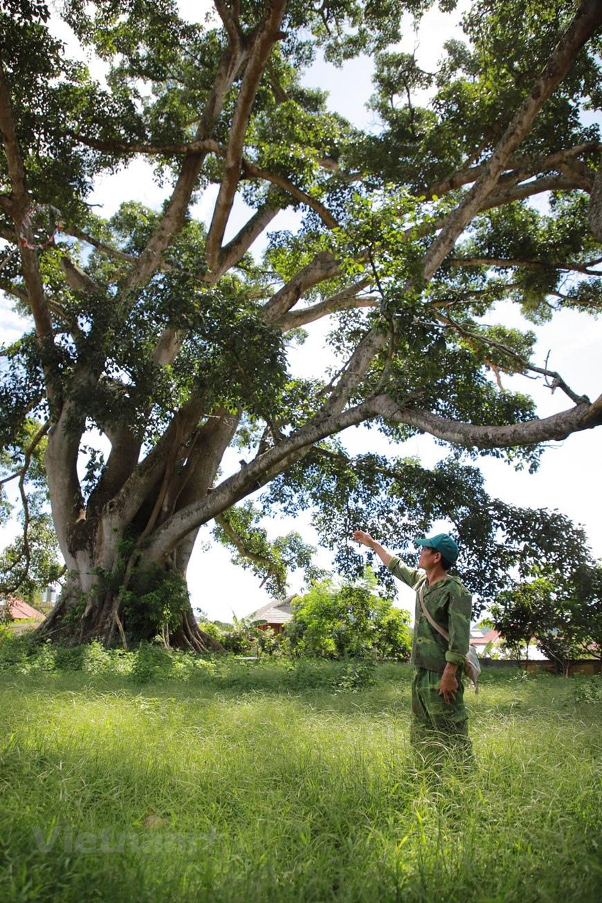 """Ở Sơn La có """"cụ"""" cây đa cổ thụ 500-600 tuổi khổng lồ có tới 2 thân kỳ lạ - Ảnh 5."""