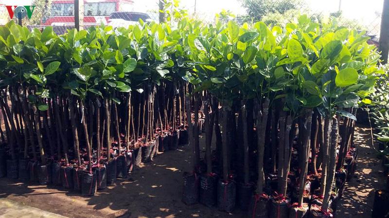 Tiền Giang: Giá cây giống tăng chóng mặt, sầu riêng lên tới 120.000 đồng/cây - Ảnh 1.