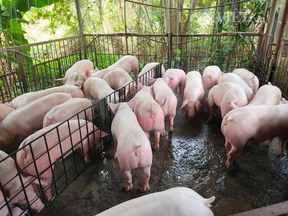"""Giá heo hơi hôm nay 4/7: Giá lợn im ắng, các """"ông lớn"""" vẫn lãi tiền tỷ mỗi ngày - Ảnh 1."""