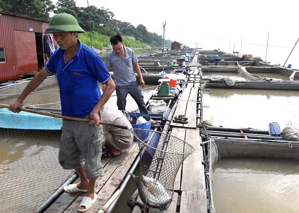Phú Thọ: Thuần dưỡng loài cá quý hiếm trên sông Đà, muốn ăn ngon phải chờ vài năm - Ảnh 3.