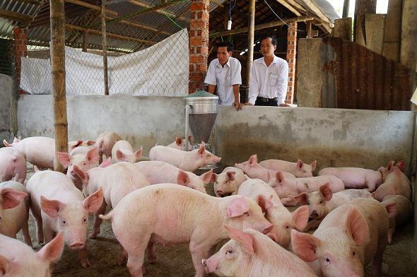 Giá heo hơi hôm nay 5/7: Giá lợn miền Bắc 93.000 đồng/kg, chủ trại thở phào vì trả hết nợ - Ảnh 1.