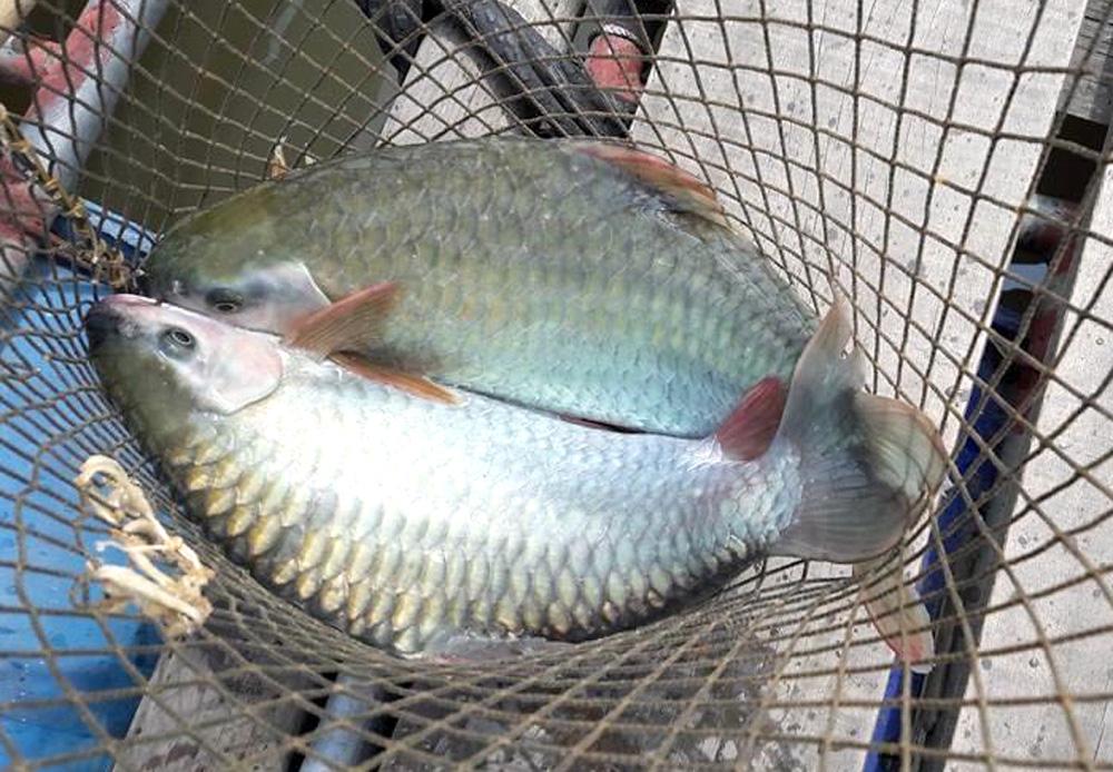 Phú Thọ: Thuần dưỡng loài cá quý hiếm trên sông Đà, muốn ăn ngon phải chờ vài năm - Ảnh 1.
