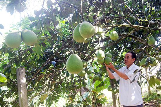 """""""Lạc"""" vào làng trồng thanh trà, cây nào cây nấy trĩu quả ở tỉnh Quảng Nam - Ảnh 2."""