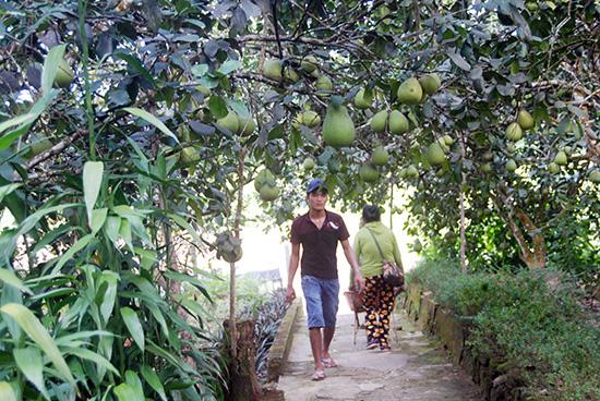 """""""Lạc"""" vào làng trồng thanh trà, cây nào cây nấy trĩu quả ở tỉnh Quảng Nam - Ảnh 1."""