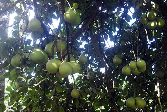 """""""Lạc"""" vào làng trồng thanh trà, cây nào cây nấy trĩu quả ở tỉnh Quảng Nam - Ảnh 5."""