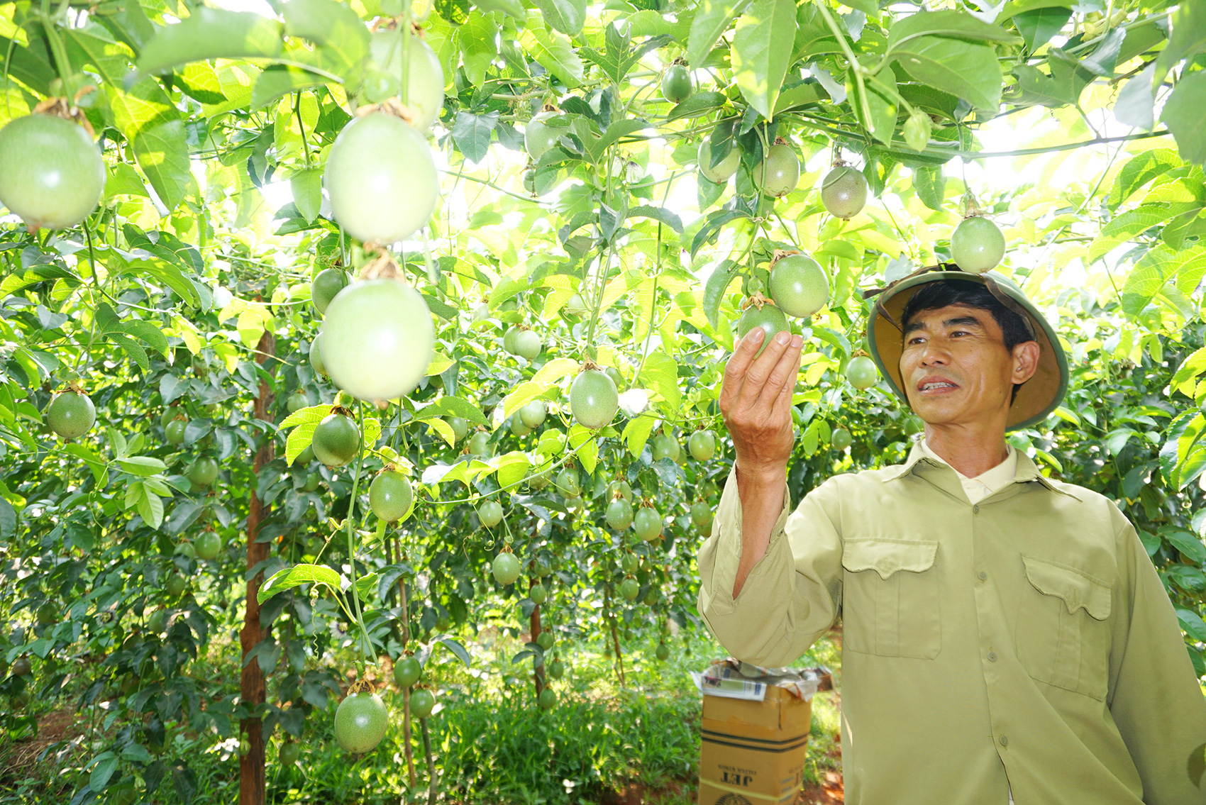 Nâng tầm cây chanh leo Việt Nam với thế giới - Ảnh 1.