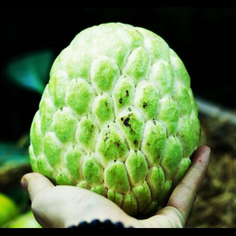 Na nữ hoàng trái khủng, 200 ngàn 1 quả cả nhà ăn thỏa thích - Ảnh 1.