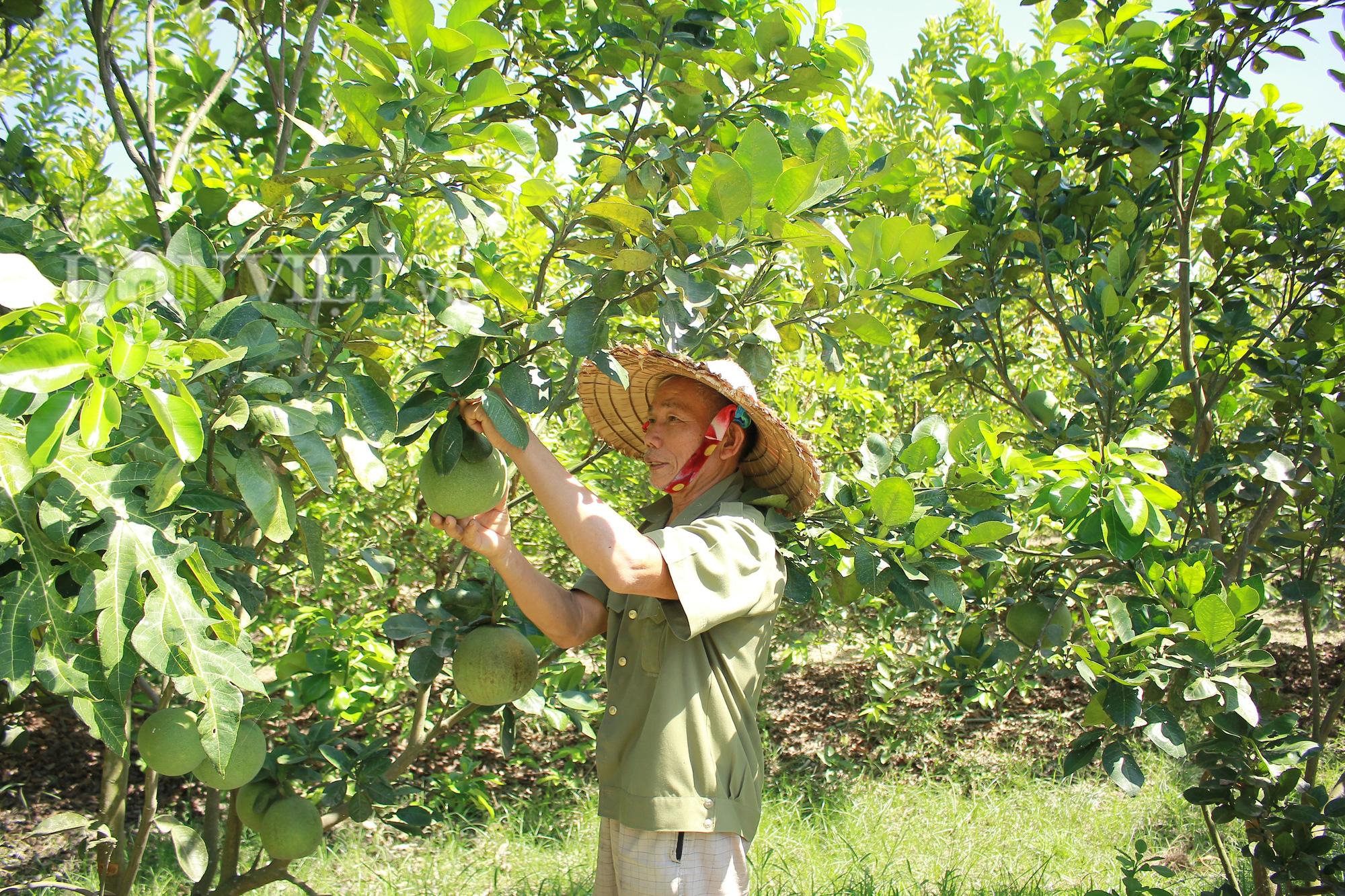 """Nghệ An: """"Lão gàn"""" biến đất sỏi đá thành vườn cây ăn quả, thu hàng trăm triệu mỗi năm - Ảnh 1."""