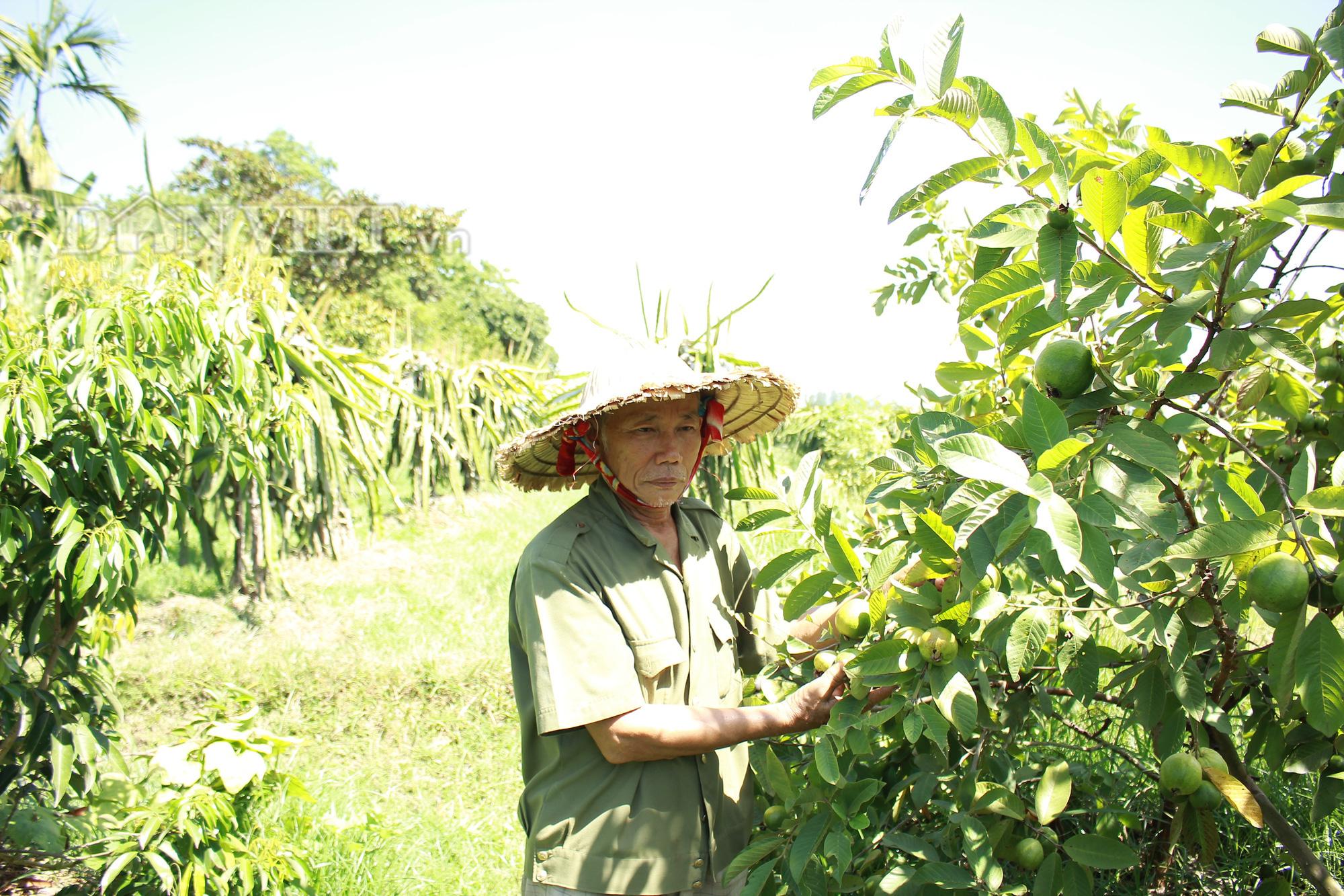 """Nghệ An: """"Lão gàn"""" biến đất sỏi đá thành vườn cây ăn quả, thu hàng trăm triệu mỗi năm - Ảnh 4."""