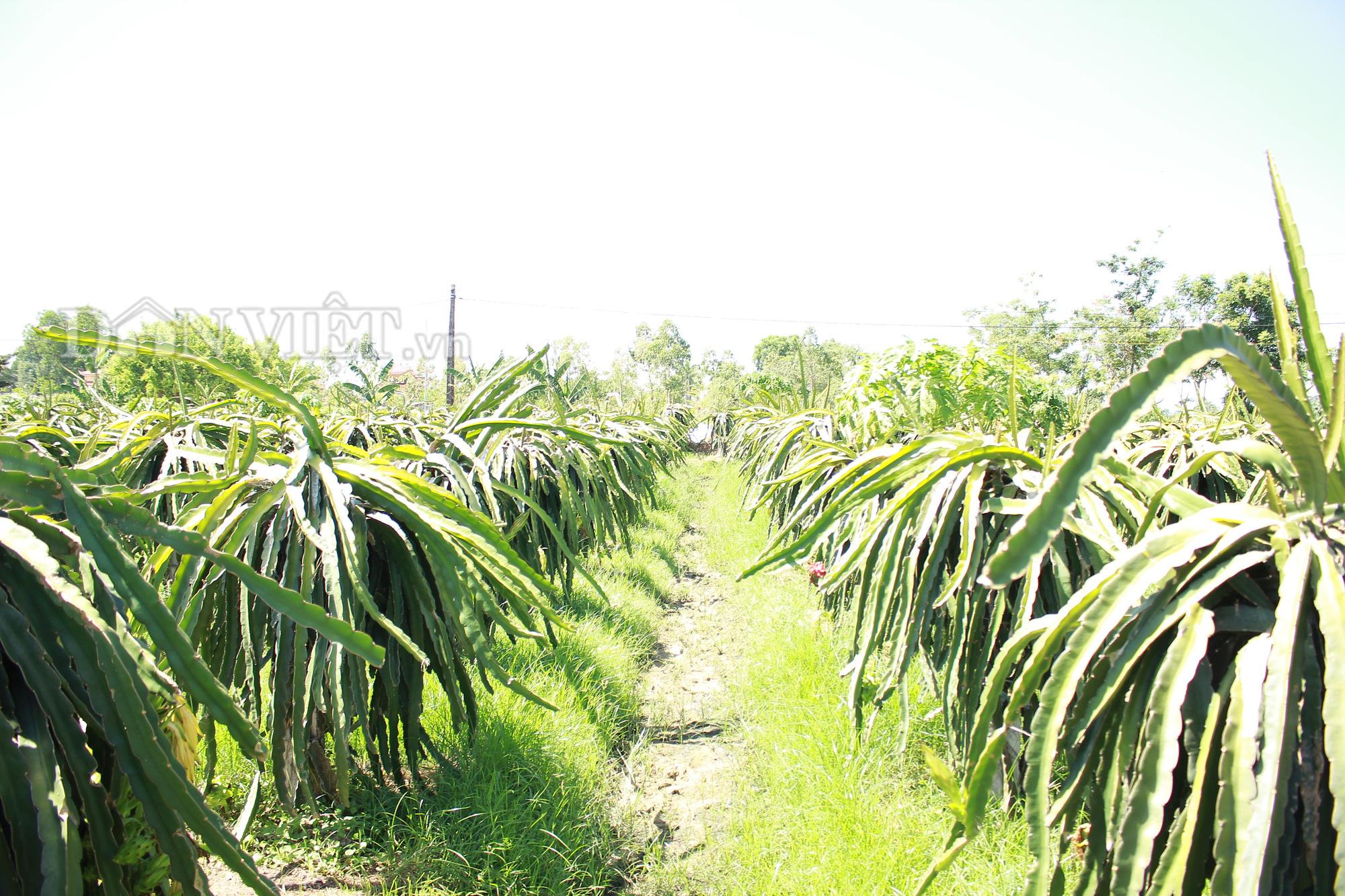 """Nghệ An: """"Lão gàn"""" biến đất sỏi đá thành vườn cây ăn quả, thu hàng trăm triệu mỗi năm - Ảnh 3."""
