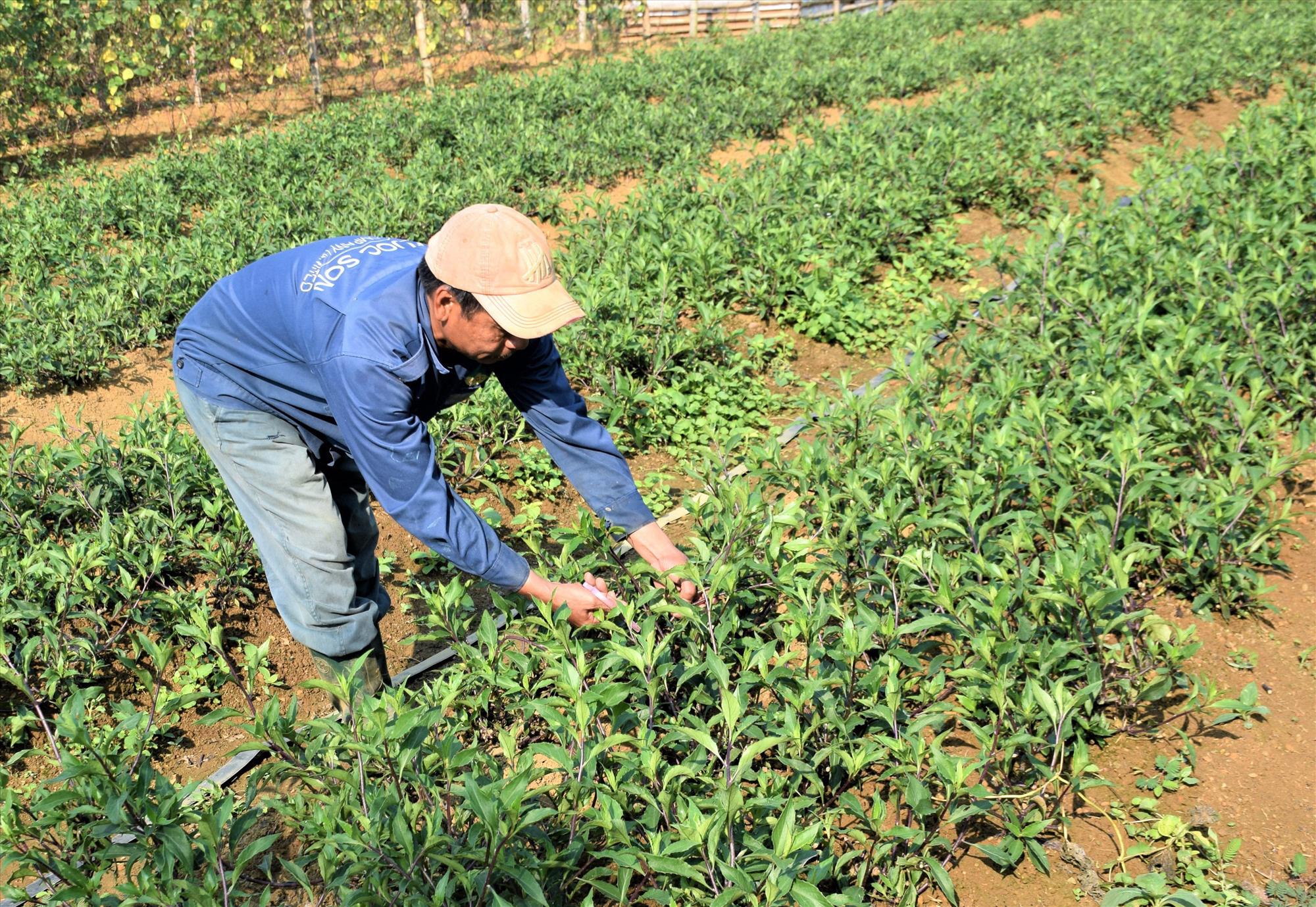 Quảng Nam: Thứ rau rừng thơm mùi thuốc Bắc, trồng trên rẫy, ai cũng muốn mua - Ảnh 1.