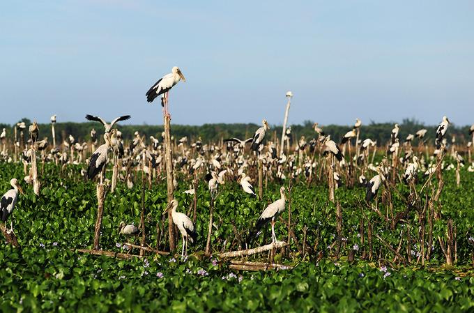 4.000 con chim di cư đậu kín sông Đầm ở Quảng Nam là loài gì, có quý hiếm không? - Ảnh 2.