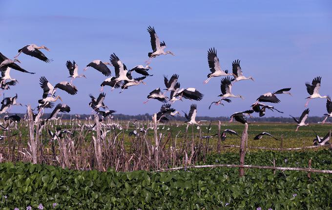 4.000 con chim di cư đậu kín sông Đầm ở Quảng Nam là loài gì, có quý hiếm không? - Ảnh 3.