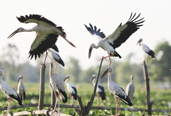 4.000 con chim di cư đậu kín sông Đầm ở Quảng Nam là loài gì, có quý hiếm không? - Ảnh 4.