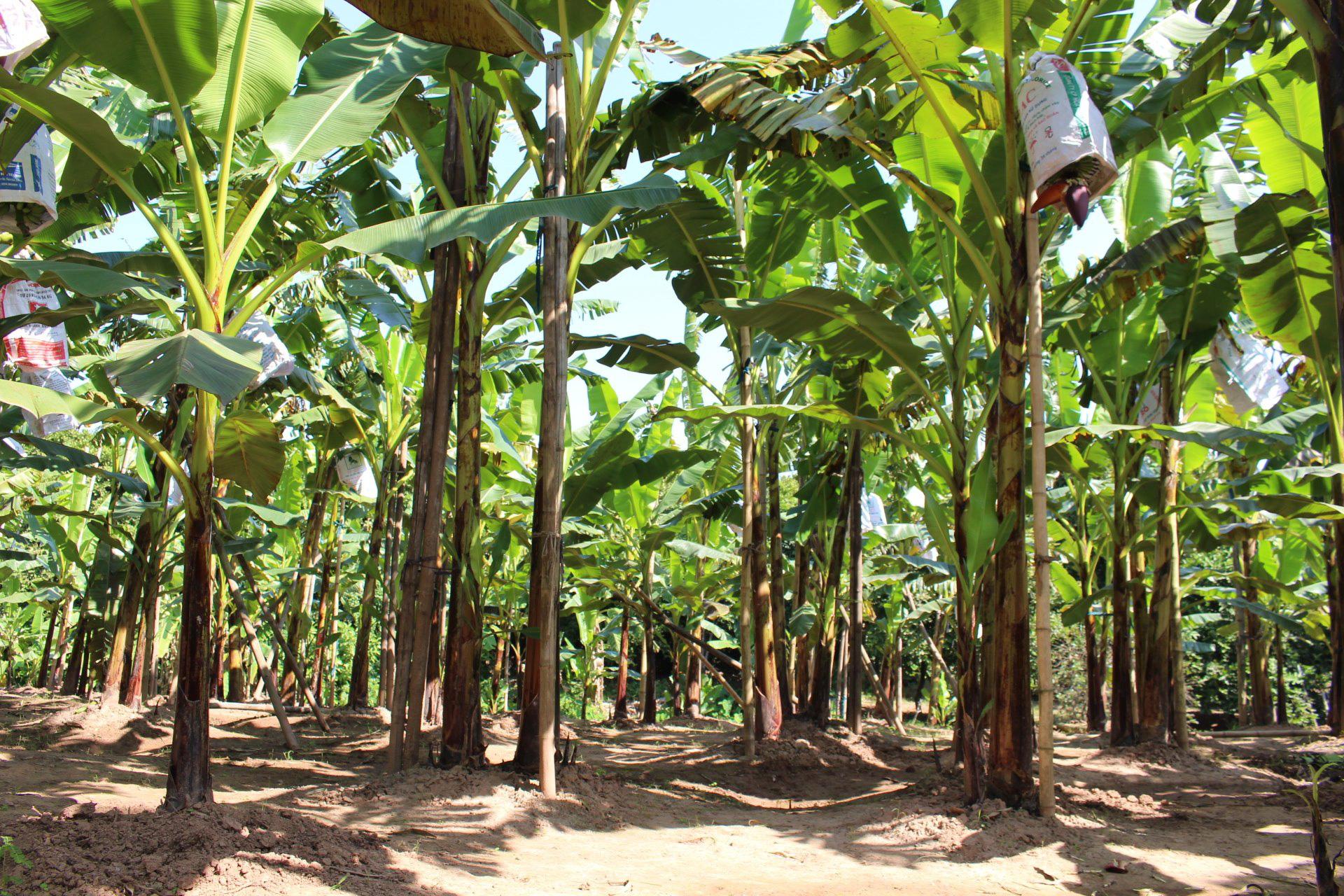Khôi phục và bảo tồn thành công giống chuối quê làng Vũ Đại - Ảnh 2.