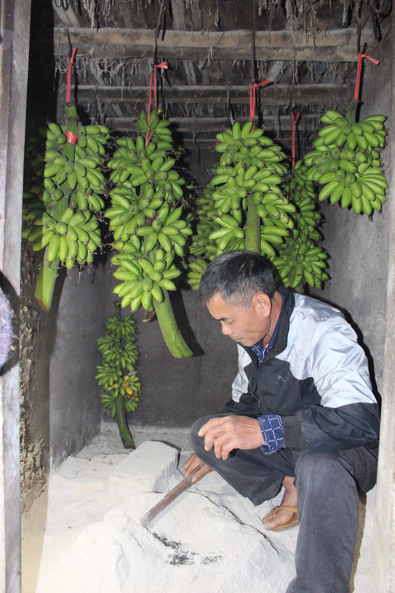 Khôi phục và bảo tồn thành công giống chuối quê làng Vũ Đại - Ảnh 5.