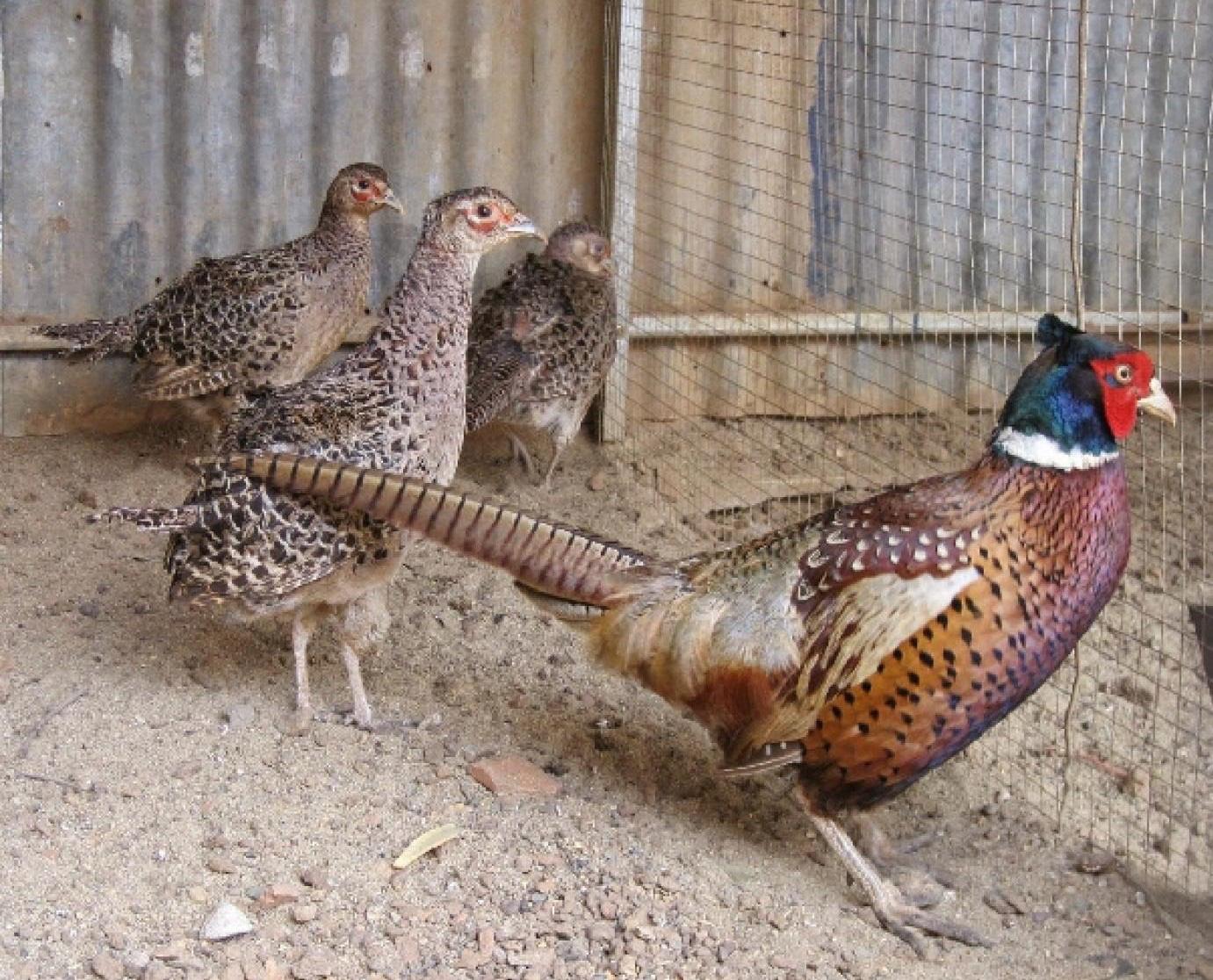 TT-Huế: Bảo tồn loài chim quý có quy cơ tuyệt chủng, thợ săn đặt bẫy bằng phanh xe đạp - Ảnh 1.