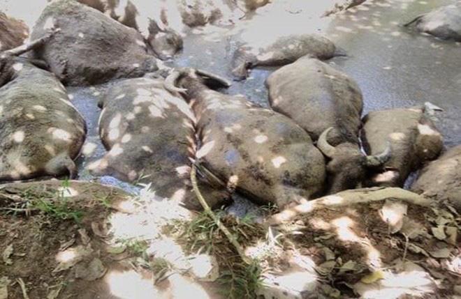 14 con trâu lăn ra chết bất thường trong vũng đầm ở Hà Nội - Ảnh 1.