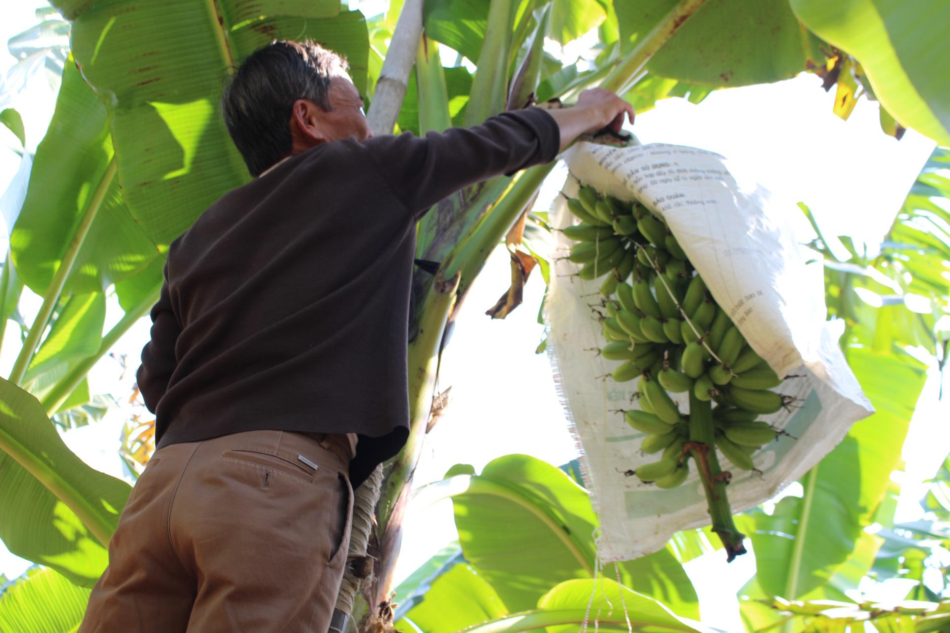 Khôi phục và bảo tồn thành công giống chuối quê làng Vũ Đại - Ảnh 1.