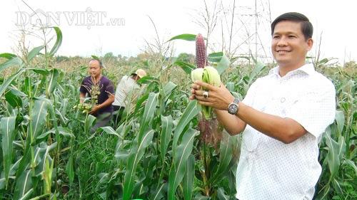 Trồng bắp thảo dược, ăn sống, anh nông dân tha hồ thu tiền - Ảnh 1.