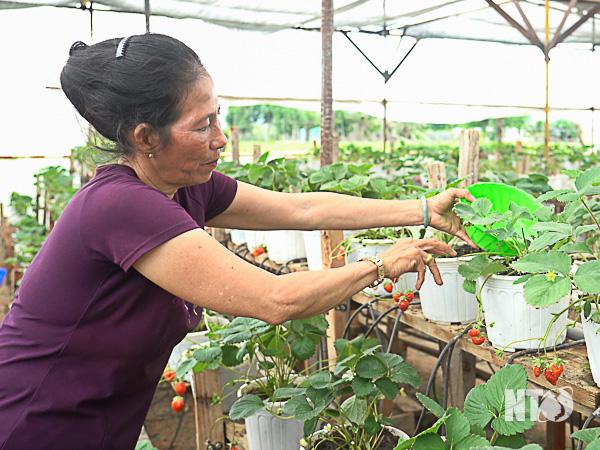 Chuyện lạ Ninh Thuận: Cứu cả vườn dâu tây chỉ bằng 1 lon sữa uổng dở vứt đi của đứa cháu - Ảnh 1.