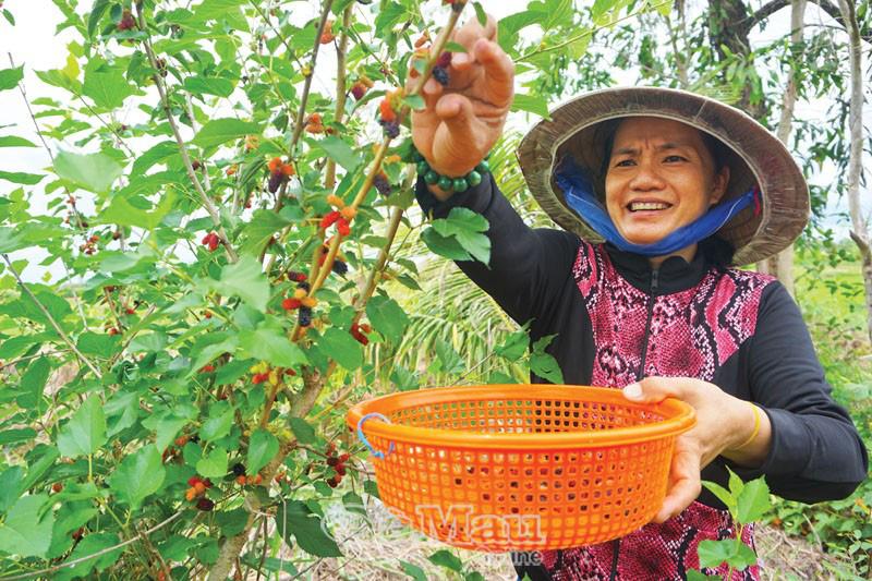"""Cà Mau: Mang thứ """"cây lạ"""" về nhà trồng, tha hồ hái trái, bán tới 100 ngàn đồng mỗi ký - Ảnh 1."""
