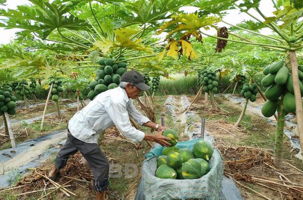 """Bình Định: Lấy cây đu đủ """"làm chủ"""" trong khu vườn trồng """"lung tung"""", hái trái không kịp bán - Ảnh 1."""
