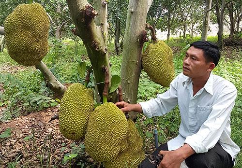 Bình Thuận: Trồng rừng mít không hạt, cây nào cũng đầy trái, thời dịch Covid-19 sao bán vẫn đắt hàng? - Ảnh 2.