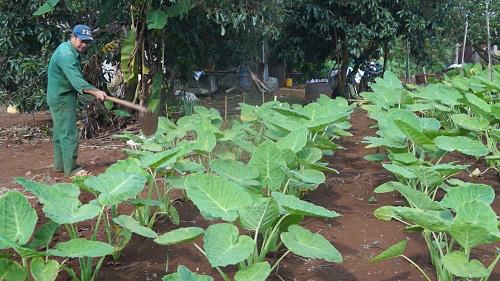 Trồng vườn rau dại, nông dân bỏ túi trăm triệu đồng/năm - Ảnh 1.