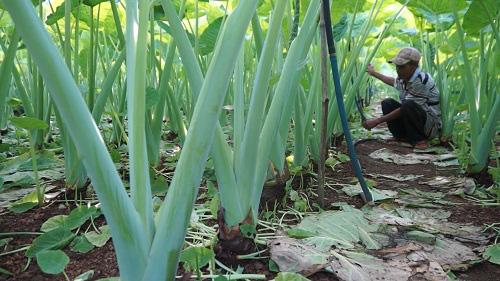 Trồng vườn rau dại, nông dân bỏ túi trăm triệu đồng/năm - Ảnh 2.