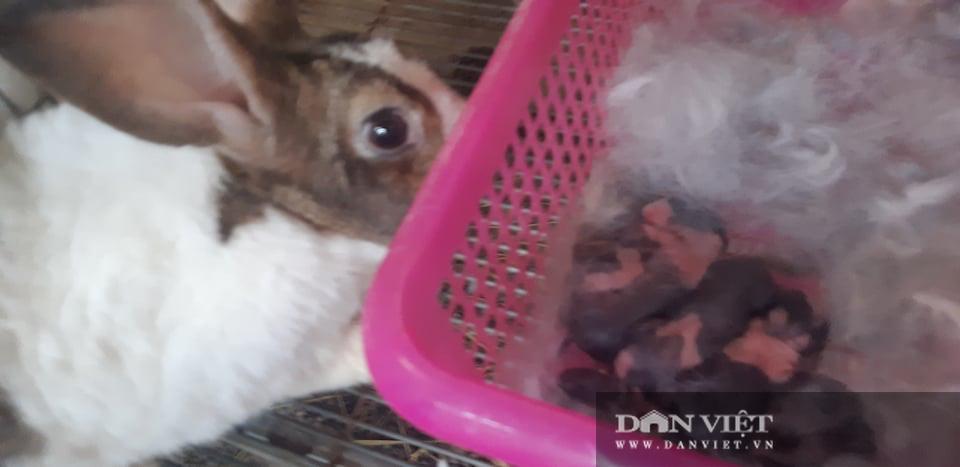 Nhờ cách chăm sóc tốt, đàn thỏ Newzeland của anh Khương sinh sản rất tốt. Đây được coi như là cỗ máy in tiền, giúp anh Khương có thu nhập cao từ việc nuôi thỏ.