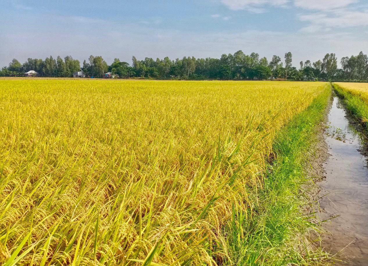 Bí kíp bón phân tăng năng suất lúa lên 7 tấn/ha - Ảnh 2.
