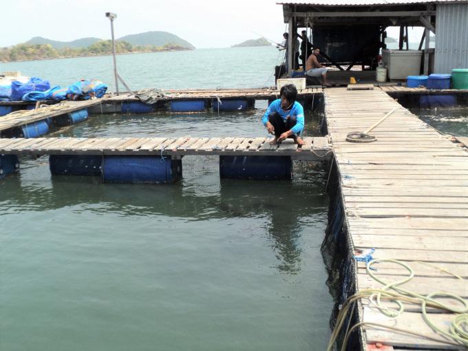 """""""Con trời ơi"""" là loài gì mà nông dân nuôi cá tỉnh Kiên Giang khiếp sợ? - Ảnh 3."""