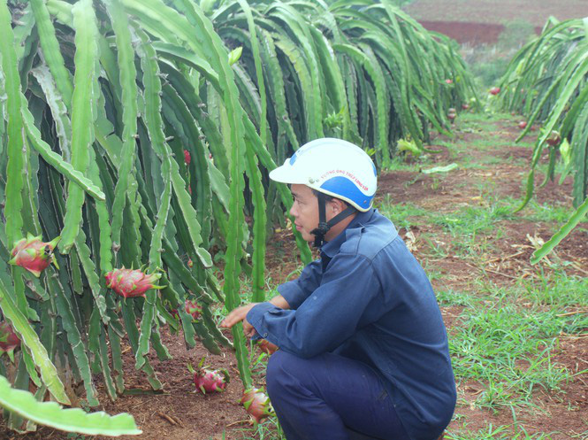 Nông dân Đắk Lắk điêu đứng vì thanh long rớt giá còn 2.000 đồng/kg - Ảnh 1.