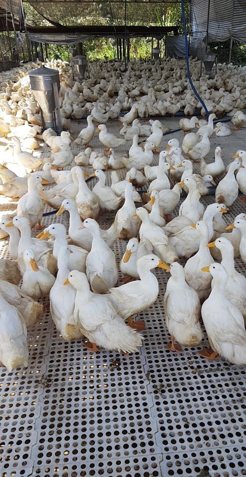 """Giá gia cầm hôm nay 16/8: Giá gà trắng, vịt thịt miền Bắc """"có biến"""", vịt miền Nam vẫn """"cười"""" - Ảnh 2."""