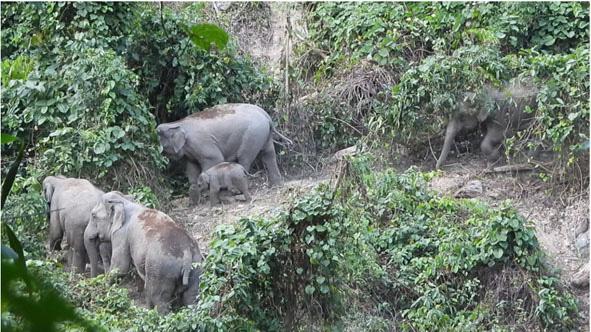 Chuyện về loài thú sống trên cạn to xác nhất thế giới ở tỉnh Quảng Nam, đã xuất khẩu sang Nhật 2 con - Ảnh 1.