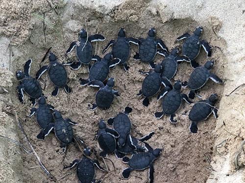 """Bình Thuận: Thả 45 """"bé"""" rùa quý hiếm, dễ thương về biển khơi, """"bà mẹ"""" rùa nặng tới hơn 1 tạ - Ảnh 1."""