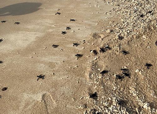 """Bình Thuận: Thả 45 """"bé"""" rùa quý hiếm, dễ thương về biển khơi, """"bà mẹ"""" rùa nặng tới hơn 1 tạ - Ảnh 3."""