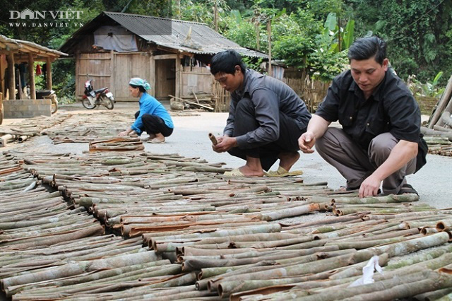 """Lào Cai: Trồng quế hữu cơ xuất khẩu đi """"Tây"""", người dân ở đây lãi đều đều hàng trăm triệu đồng mỗi năm - Ảnh 2."""