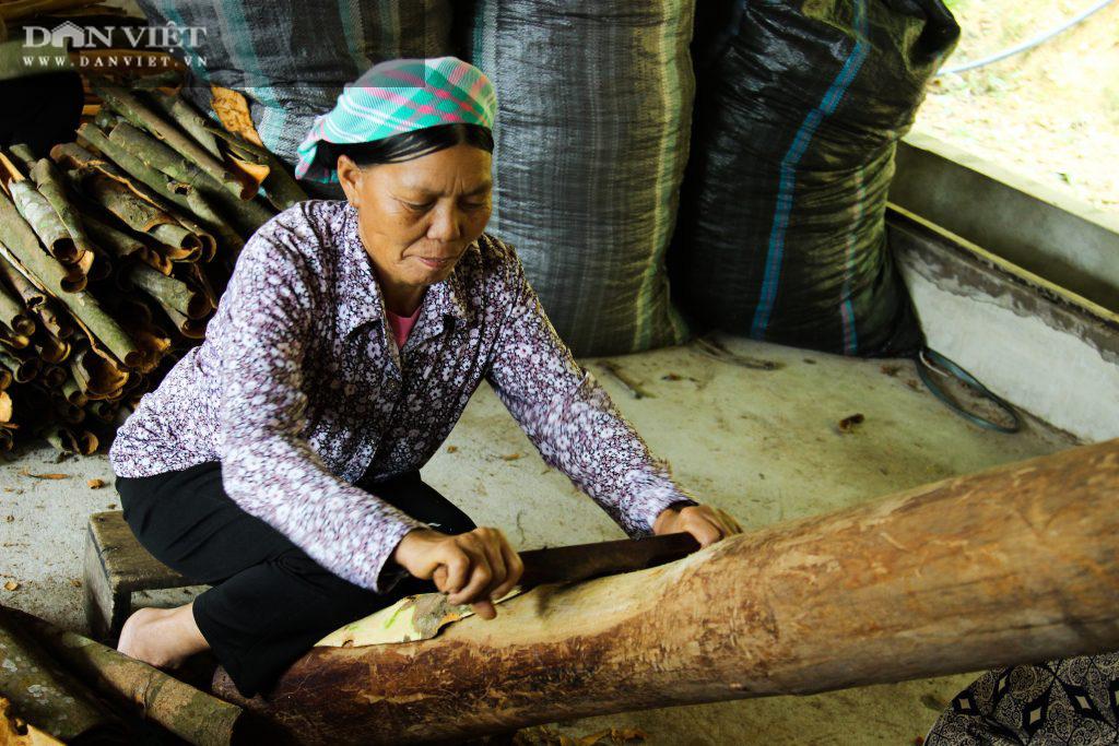 """Lào Cai: Trồng quế hữu cơ xuất khẩu đi """"Tây"""", người dân ở đây lãi đều đều hàng trăm triệu đồng mỗi năm - Ảnh 4."""