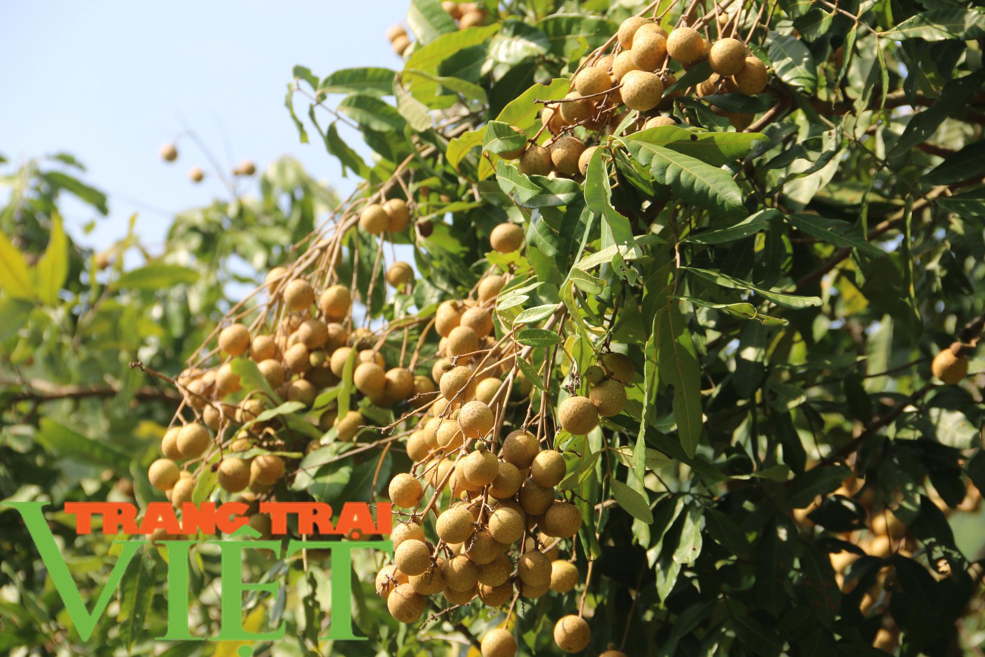 Hội Nông dân Yên Châu: Nhiều giải pháp giúp hội viên phát triển sản xuất - Ảnh 4.