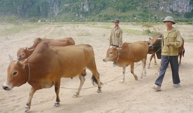 Thoát nghèo nhờ nuôi bò lai - Ảnh 2.