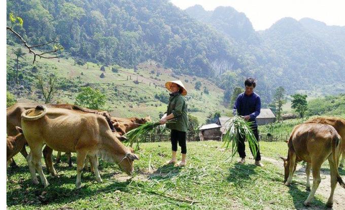 Thoát nghèo nhờ nuôi bò lai - Ảnh 3.